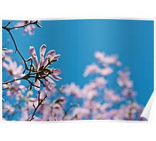 Pink Magnolia Blossoms On a spring day Poster