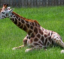 A young Giraffe........  by jdmphotography
