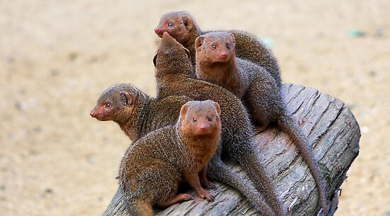 Mongooses by jdmphotography