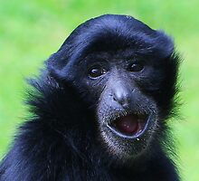 Siamang adult...... by jdmphotography