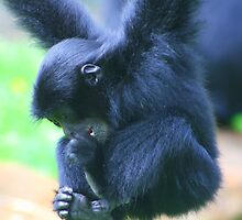 Siamang infant....... by jdmphotography