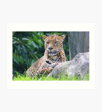 The Sri Lanka leopard.... Art Print