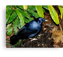 Satin Bower Bird Canvas Print
