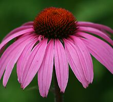 Purple Cone Flower by mikrin