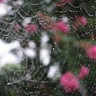 Spider Web covered in dew drops by Jamaboop