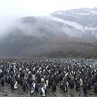 King Penguin Rookery by John Douglas