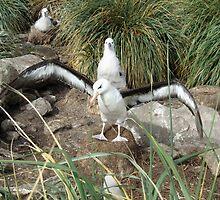 Black Browed Albatross by John Douglas