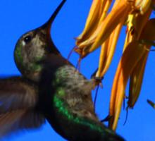 Anna's Hummingbird In Arizona at Boyce Arboretum Sticker