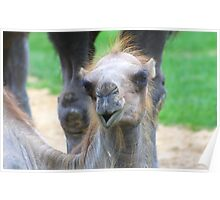 Bactrian Camel (Junior) Poster