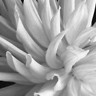 Dahlia - sharp detail by Chipper