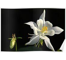 Columbine Wildflower - Sundance, Utah Poster