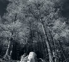 Larches of Dull Wood by Richard Ion