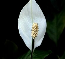 Peace Lilly by Dave Lloyd