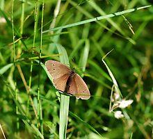 Ringlet Butterfly by Simon Pattinson