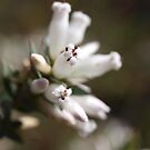 Leucopogon strictus in the Serpentine by kalaryder