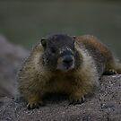 Marmot III by Daniel Doyle