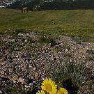 Sunflower above timberline by Daniel Doyle