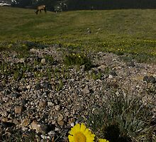 Sunflower above timberline by Daniel Doyle
