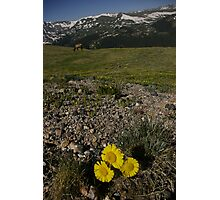 Sunflower above timberline Photographic Print