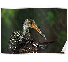 A Limpkin Ponders Poster