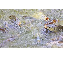 Feeding frenzy......... Photographic Print
