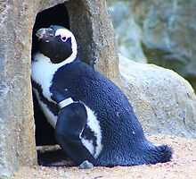 Black-footed Penguin  by jdmphotography