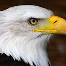 Bald Eagle Portrait.......... by jdmphotography
