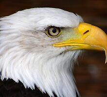 Bald Eagle Portrait.......... by jdmphotography