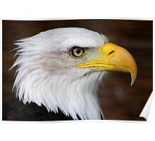 Bald Eagle Portrait.......... Poster