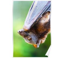 Little red Flying-fox Poster