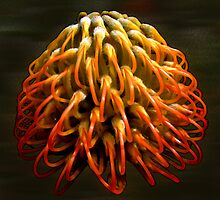 Banksia On Fire by haymelter