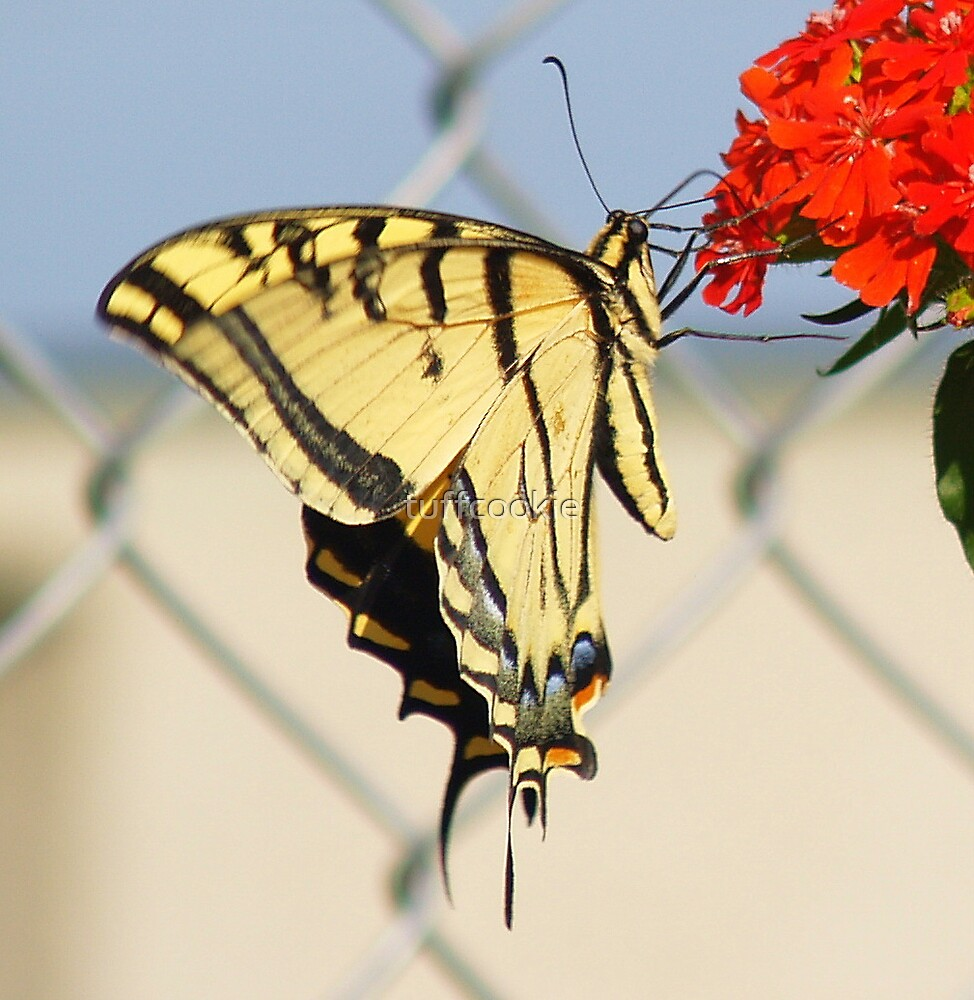 Swallow Tail Butterfly by tuffcookie
