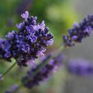 Lavender by Melissa Contreras