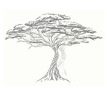 Acacia Shadow , black and white beautiful zen tree  Photographic Print