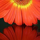 Fiery Gerbera Reflection I by Larissa Brea