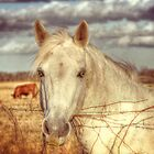White Horse by venny