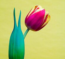 Cheerful Peace sign Tulip  by Linda Matlow
