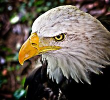 Bald Eagle by Scott Ward