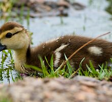 Baby Muscovy  by Bonnie T.  Barry