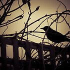 Evening Black Bird by Marnie Hibbert