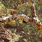 River Gums - West MacDonnell Ranges, NT Australia by Alison Howson