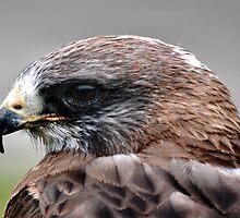Hawk Close-up by BluAlien
