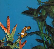 Nemo Clown Fish at Melbourne Aquarium by Hunnie