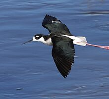 Black-necked Stilt In Flight by tomryan
