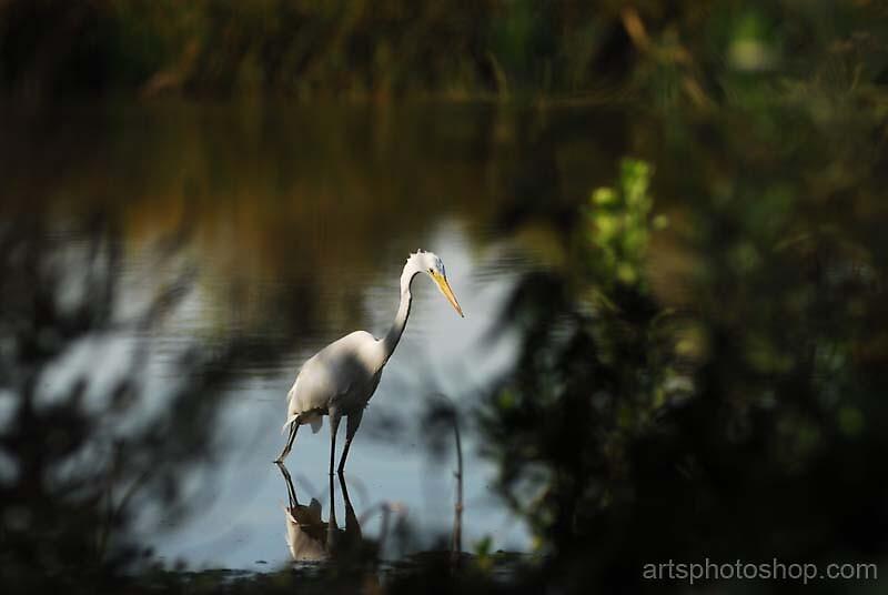 Egretta 3 by artsphotoshop