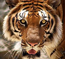 Tiger's face by maureenclark