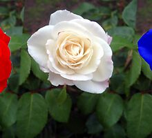 red, white and blue roses. by happyphotos
