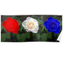 red, white and blue roses. Poster
