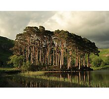 Scots Pines in the evening light. Photographic Print
