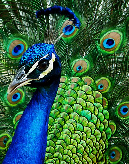 Colorful Peacock by David Cortez